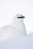 Rock Ptarmigan (Lagopus Mutus) Close-Up Portrait in Winter Plumage  Cairngorms Np  Scotland  UK