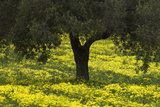 Olive Trees with Flowering Bermuda Buttercups (Oxalis Pes Caprae) Kaplika  Cyprus  April