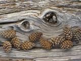 Bosnian Pine (Pinus Leucodermis) Close-Up Fallen Trunk Bark with Cones  Pollino  Basilicata  Italy