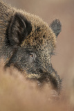 Wild Boar (Sus Scrofa) Alladale Wilderness Reserve, Scotland, March 2009 Papier Photo par Cairns