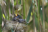 Reed Warbler(Acrocephalus Scirpaceus) Feeding European Cuckoo(Cuculus Canorus) Chick in its Nest Uk