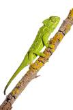 Common Chameleon (Chameleo Chameleo) on Branch  Huelva  Andalucia  Spain  April 2009