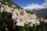 Caucasian Rhododendron Lowers with Mount Elbrus in the Distance  Caucasus  Russia  June