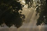 European Oak (Quercus Robur) with Rays of Sunlight  Klampenborg Dyrehaven  Denmark  September 2008