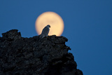 Gyrfalcon (Falco Rusticolus) Silhouetted at Full Moon  Myvatn  Thingeyjarsyslur  Iceland  April