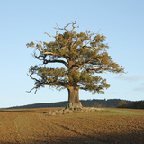 English Oak (Quercus Robur) Standing Solitary in a Field in Winter Surrey  UK  November