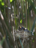 Reed Warbler (Acrocephalus Scirpaceus) Feeding Cuckoo Chick (Cuculus Canorus) Fenland  Norfolk  May
