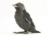 Baby Jackdaw (Corvus Monedula)