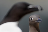 Common Guillemot (Uria Aalge) Bridled Form and an Out of Focus Razorbill (Alca Torda) Ireland