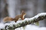 Red Squirrel (Sciurus Vulgaris) on Branch in Snow, Glenfeshie, Cairngorms National Park, Scotland Papier Photo par Cairns