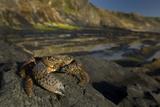 Crab (Eriphia Verrucosa) on Rock  Natural Park of Alentejano and Costa Vicentina  Portugal