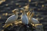 Northern Gannet (Morus Bassanus) Colony  Courtship  Seabird Cliff  Langanes Peninsula  Iceland