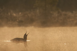 Red Throated Diver (Gavia Stellata) Calling at Dawn on Mist-Laden Lake  Bergslagen  Sweden  April