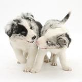 Playful Border Collie Puppies  6 Weeks