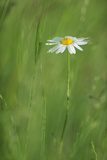 Marguerite - Oxeye Daisy (Leucanthemum Vulgare) in Flower  Roudenhaff  Mullerthal  Luxembourg