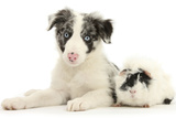 Blue Merle Border Collie Puppy  9 Weeks  with Black and White Guinea Pig