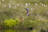 Red-Throated Diver (Gavia Stellata) on Nest Amongst Cotton Grass Beside Water  Flow Country  UK