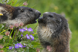 Alpine Marmots (Marmota Marmota) Feeding on Flowers  Hohe Tauern National Park  Austria