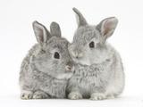 Two Baby Silver Rabbits Papier Photo par Mark Taylor