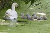 Mute Swan (Cygnus Olor) Adult with Cygnets on Water  Woodwalton Fen  Cambridgeshire  UK  June