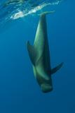Shortfin Pilot Whale (Globicephala Macrorhynchus) Just Below the Surface  Canary Islands  Spain