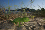 Juvenile African Chameleon (Chamaeleo Africanus) on Ground  Southern the Peloponnese  Greece  May