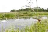 Four-Spotted Chaser {Libellula Quadrimaculata} Dragonfly on Grass with Swans in Background  UK