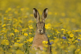 European Hare (Lepus Europaeus) in Set Aside Field Seeded with Corn Marigolds  Norfolk  England  UK