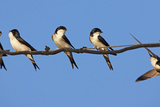 House Martins (Delichon Urbicum) Perched on Wire  with Another in Flight  Extremadura  Spain  April