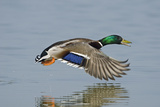 Mallard (Anas Platyrhynchos) Male Flying Low over Water Cambridgeshire Fens  England  March