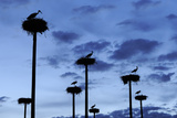 White Storks (Ciconia Ciconia) Nesting on Poles in Cáceres  Extremadura  Spain