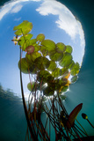 European White Water Lily (Nymphaea Alba) in Swedish Lake with Snells Window Effect  Sweden