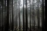 Pine Forest with Rays of Light Shining Through Trees  Montado Do Barreiro Natural Park  Madeira