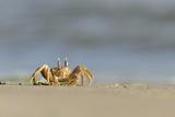 Ghost - Sand Crab (Ocypode Cursor) on Beach, Dalyan Delta, Turkey, August 2009 Papier Photo par Zankl