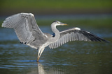Grey Heron with Wings Out Stretched  Elbe Biosphere Reserve  Lower Saxony  Germany  September