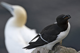 Razorbill (Alca Torda) on Rock with a Gannet (Morus - Sula Bassana) Behind  Saltee Islands  Ireland