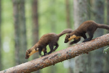 Pine Marten (Martes Martes) Two 4 Month Kits Running Along Branch  Caledonian Forest  Scotland  UK