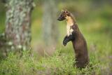 Pine Marten (Martes Martes) Female Portrait  Standing in Caledonian Forest  Highlands  Scotland  UK