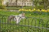Grey Squirrel (Sciurus Carolinensis) Climbing over Fence in Parkland  Regent's Park  London  UK