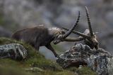 Alpine Ibex (Capra Ibex Ibex) Fighting  Hohe Tauern Np  Austria  July 2008