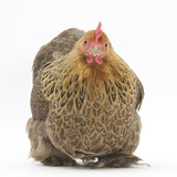 Portrait of a Partridge Pekin Bantam