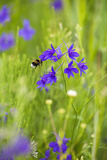 Field Larkspur (Consolida Regalis - Delphinium Consolida) with Bumble Bee Flying by  Slovakia