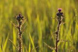 Marsh Thistle (Cirsium Palustre) Flowering on Managed Grazing Land  Wicken Fen  Cambridgeshire  UK