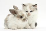 Colourpoint Kitten with Baby Rabbit