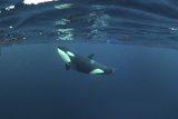 Killer Whale - Orca (Orcinus Orca) Just Below the Surface  Kristiansund  Nordmøre  Norway
