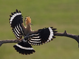 Hoopoe (Upupa Epops) Landing on Branch  Rear View with Wings Open  Hortobagy Np  Hungary  May 2008