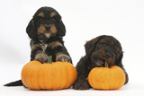 Two Cockerpoo Puppies with Pumpkins