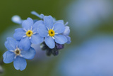 Alpine Forget-Me-Not (Myosotis Asiatica) in Flower  Liechtenstein  June 2009