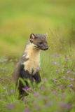 Pine Marten (Martes Martes) Female  Portrait  in Caledonian Forest  the Black Isle  Scotland  UK