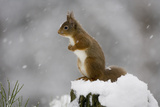 Red Squirrel (Sciurus Vulgaris) in Snow  Glenfeshie  Cairngorms Np  Scotland  February